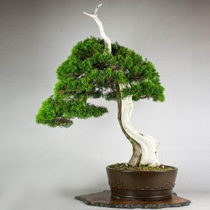 1 3 300x300 Juniperus shimpaku Itoigawa   Image of 1 3 300x300