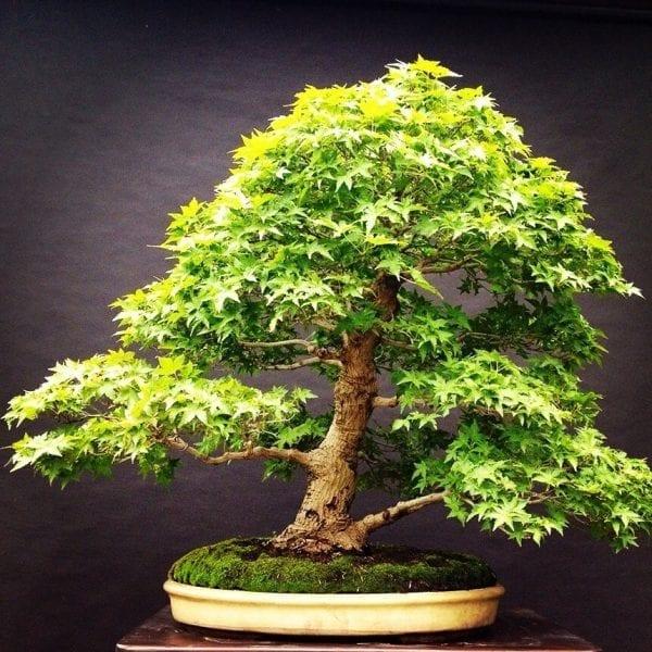 270080351 Acer Palmatum Yamamomiji   Image of 270080351