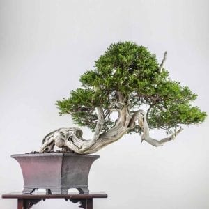 bonsai2 1 300x300 Gallery   Image of bonsai2 1 300x300