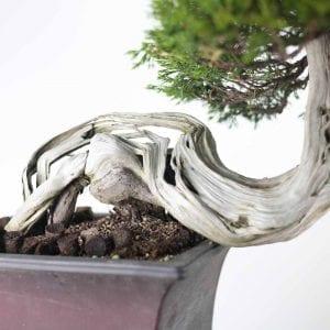 bonsai2 3 300x300 Gallery   Image of bonsai2 3 300x300