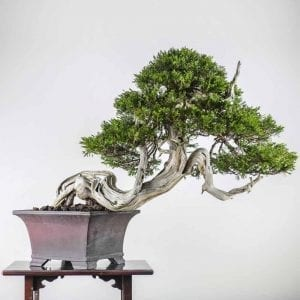 bonsai2 7 300x300 Gallery   Image of bonsai2 7 300x300