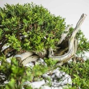 bonsai2 9 300x300 Gallery   Image of bonsai2 9 300x300