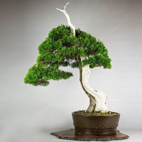 1 2 Juniperus shimpaku Itoigawa   Image of 1 2