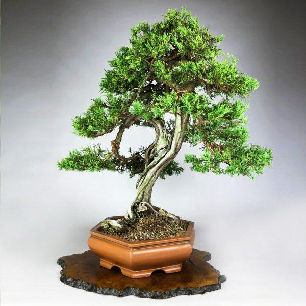 1 4 Juniperus Sabina   Image of 1 4