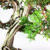2 2 Juniperus Sabina   Image of 2 2